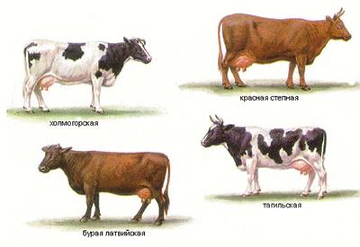 Секс крупного рогатого скота
